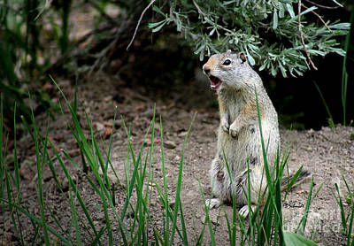 Photograph - Uinta Ground Squirrel by E B Schmidt