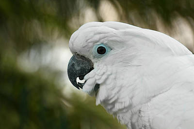 Photograph - Umbrella Cockatoo by Erin Tucker