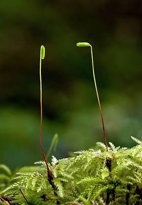 Umbrella Moss (leucolepis Acanthoneuron) Print by Bob Gibbons