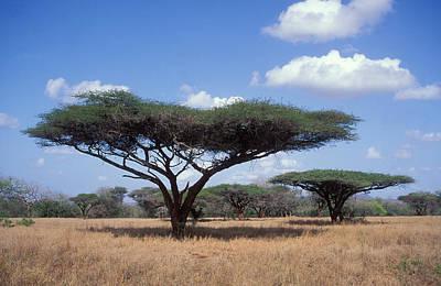 Photograph - Umbrella Thorn Trees by Nigel Dennis