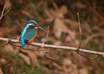Kingfisher Photograph - Uncommonly Common by Richard Cummings