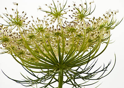 Photograph - Under Queen Anne's Lace by Christi Kraft