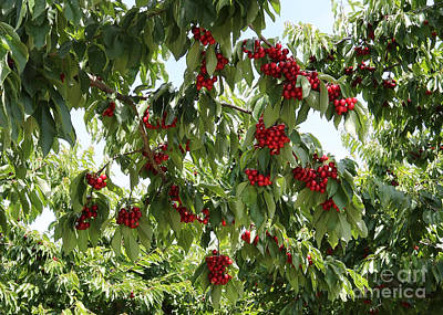 Fruits Photograph - Under The Cherry Tree by Carol Groenen