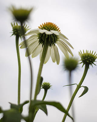 Under The Echinacea Art Print by Heather Applegate