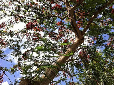 Photograph - Under The Poinciana by Karen Zuk Rosenblatt