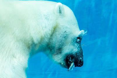 Underwater Polar Bear Art Print by Aaron Legarsky
