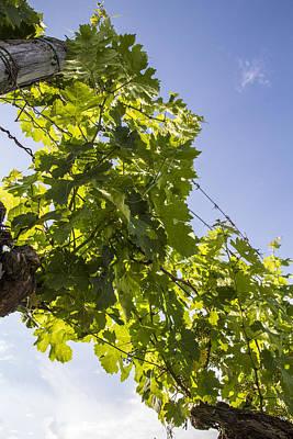Grape Vine Photograph - Underneath The Vine by Georgia Fowler