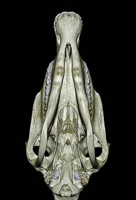 Underside Of A Horse's Skull Art Print