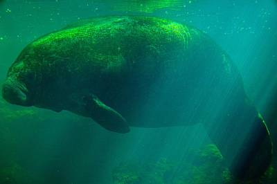 Photograph - Underwater Manatee by Richard Zentner