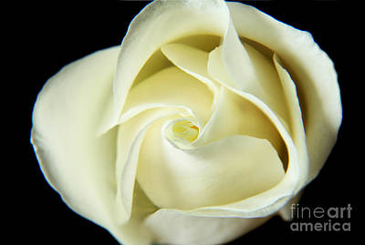 Photograph - Unfolding White Rose by Eden Baed