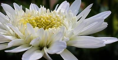 Photograph - Unfolding Petals by Bruce Bley