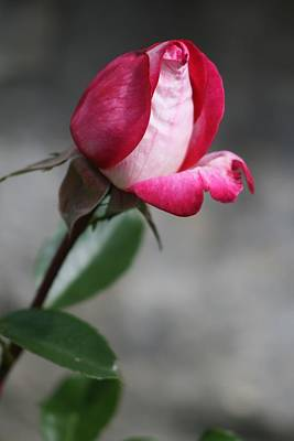 Photograph - Unfolding Rose by Phoenix De Vries