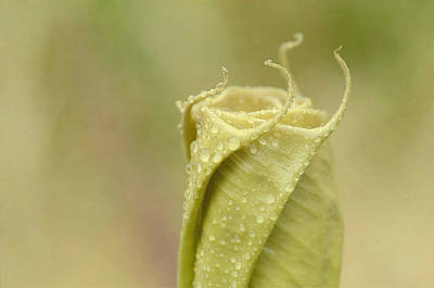 Photograph - Unfurling 2 by Fraida Gutovich