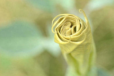 Photograph - Unfurling by Fraida Gutovich