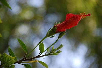 Photograph - Unfurling Hibiscus by Eric Tressler