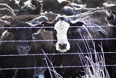 Photograph - Unhappy Cows by Abram House