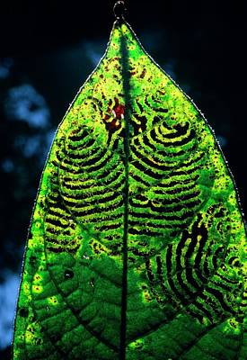 Unidentified Fungus On Rain Forest Leaf Art Print by Dr Morley Read/science Photo Library