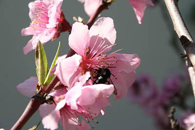 Photograph - Unidentified Winged Insect On Peach Tree Blossom by Tracey Harrington-Simpson