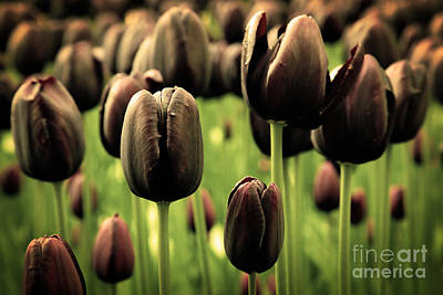 Mood Photograph - Unique Black Tulip Flowers In Green Grass by Michal Bednarek