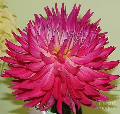 Photograph - Unique Pink Dahlia by Brigitte Emme