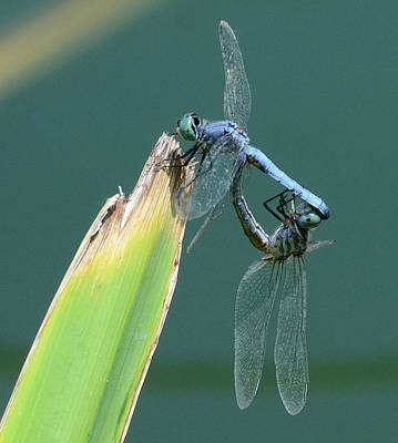 Dragonflies Mating Photograph - Unison by Fraida Gutovich