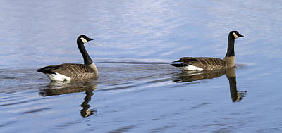 Canadian Goose Wall Art - Photograph - Unison by Rebecca Cozart
