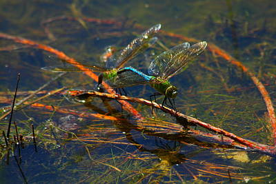 Photograph - Reflection Of Dragonflies Planting Nymphs by Reid Callaway