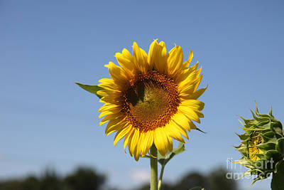 Sunflowers Royalty-Free and Rights-Managed Images - United through challenge by Amanda Barcon