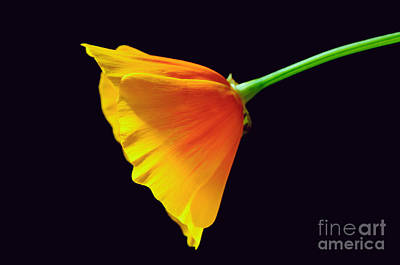 Photograph - Mexican Gold Poppy by Tamara Becker
