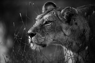 Lioness Wall Art - Photograph - Untitled by Simona Forte