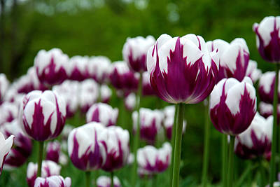 White Flowers Photograph - Unusual Tulips by Jennifer Ancker