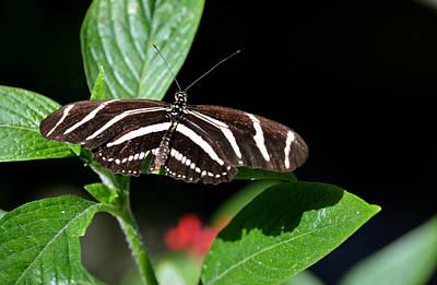 Photograph - Uoffl  Zebra Longwing by Judy Wanamaker
