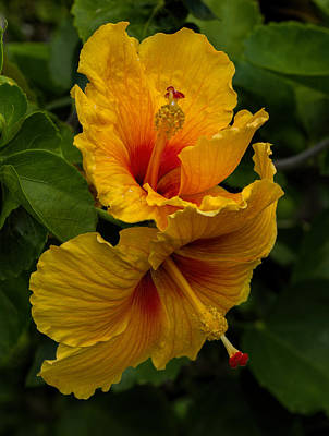Photograph - Up And Down Hibiscus by Dorothy Cunningham