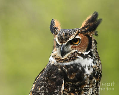 Up Close And Personal With The Great Horned Owl Art Print