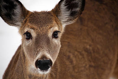 Photograph - Up Close Doe by Karol Livote
