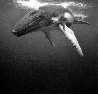Humpback Whale Drawing - Up For Air by Doug Comeau