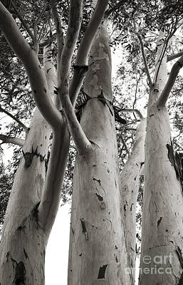 Photograph - Up The Eucalyptus Tree Giant by Lee Craig
