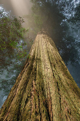 Photograph - Up The Redwood by Greg Nyquist