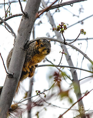 Eastern Fox Squirrel Photograph - Up The Tree by Robert Bales