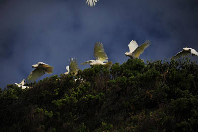 Pretty Cockatoo Photograph - Up Up And Away by Harry Spitz