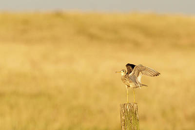 Upland Photograph - Upland Sandpiper Near Bowman, North by Chuck Haney