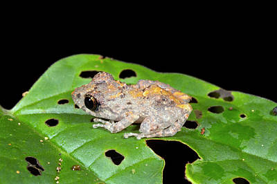 Eleutherodactylus Photograph - Upper Amazon Rain Frog by Dr Morley Read
