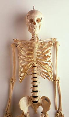 Upper Part Of Human Skeleton Print by Dorling Kindersley/uig