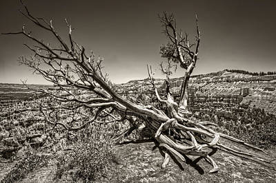 Uprooted - Bryce Canyon Sepia Art Print by Tammy Wetzel