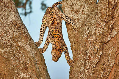 Leopard Wall Art - Photograph - Upside Down by Alessandro Catta