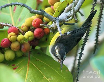 Photograph - Upside Down Bananaquit by Adam Jewell