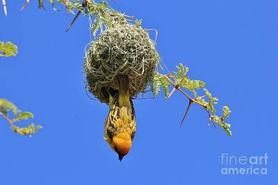 Hangs Upside Down Photograph - Upside Down Weaver Gold by Hermanus A Alberts