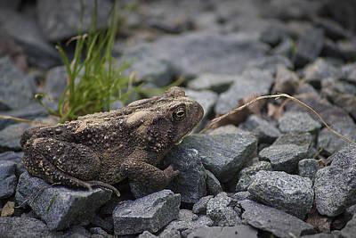Beautiful Photograph - Upstate Ny Frog by Samir Mustafic