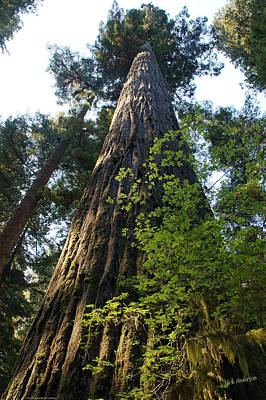 Photograph - Upward In A Redwood Forest by Mick Anderson