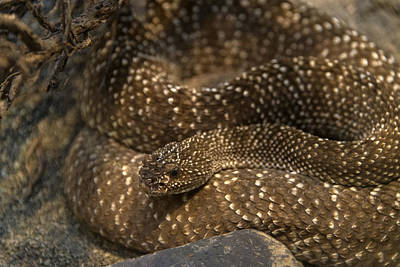 Photograph - Uracoan Rattlesnake by Mark Newman